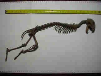 Pubblicate immagini di uno scheletro