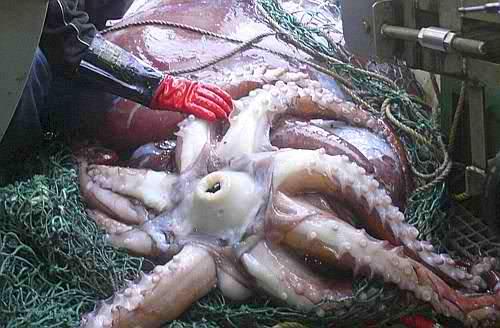 Pescato calamaro gigante in Nuova Zelanda di 450 kg