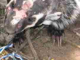 Catturano un animale strano a Nuevo Ideal Messico