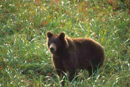 L 39 orso nel folclore e nel mondo magico del medioevo russo for Cabine marine di grandi orsi