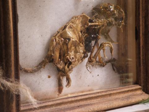 chupacabra mummificato