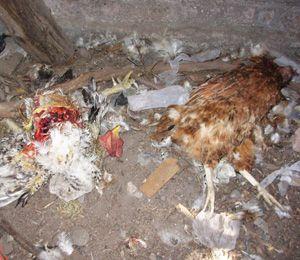 Il chupacabra decapita un gallo e uccide 10 galline?