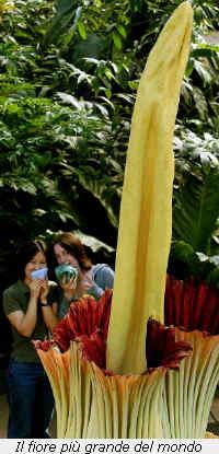 La pianta con il fiore più grande del mondo