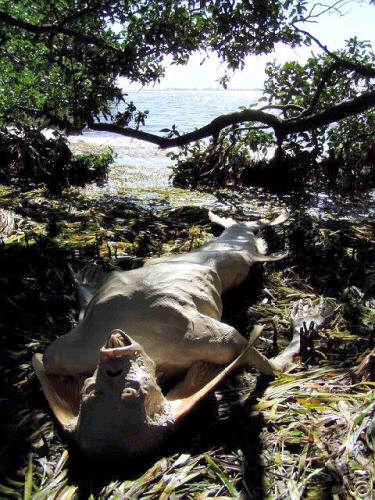 scheletro sirena