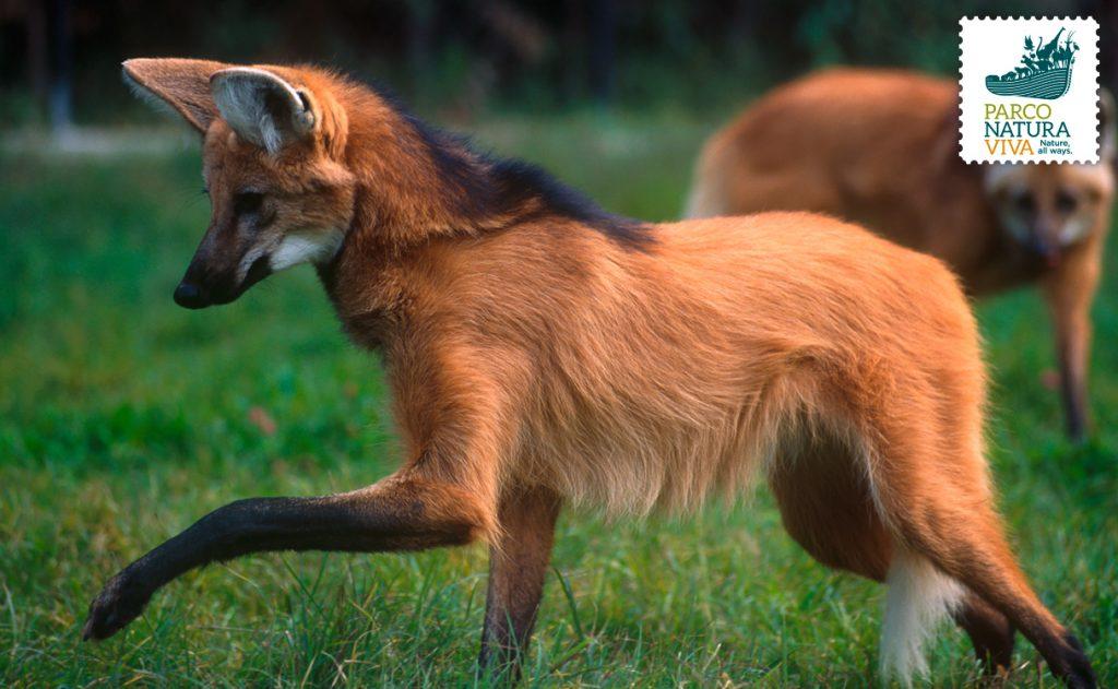 Il chupacabra è il crisocione o lupo dalla criniera
