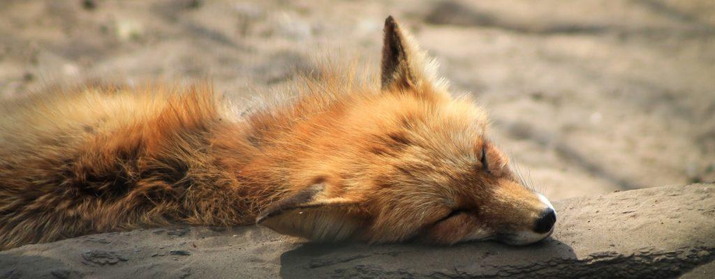 Chupacabra in Ucraina o volpe malata?
