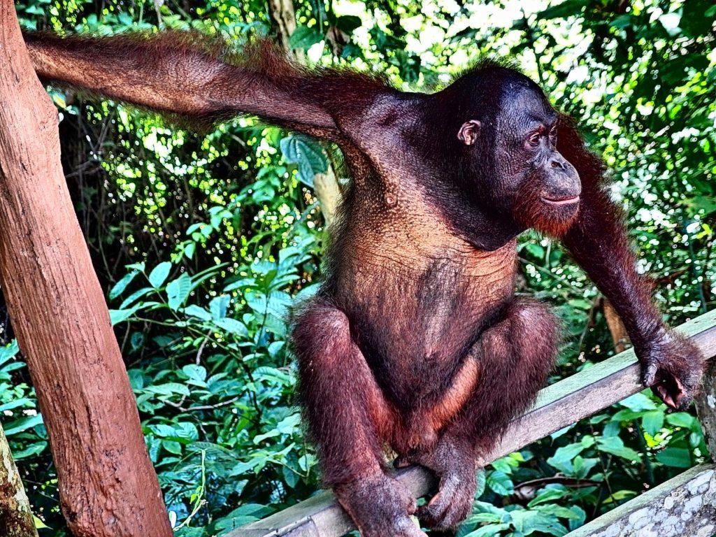 Brunamonti il testimone mostro di Scheggia, forse era un orangotango?