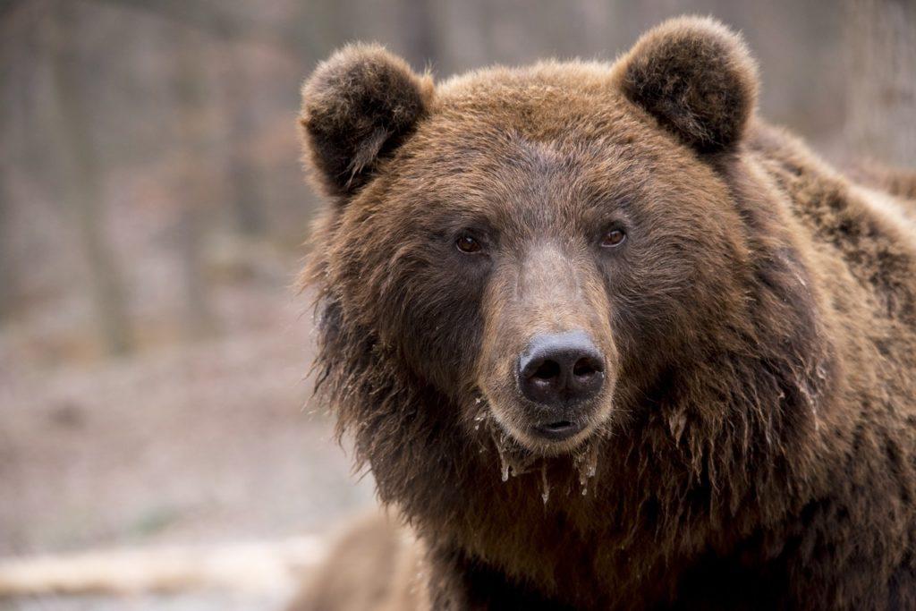 orso nel folclore russo