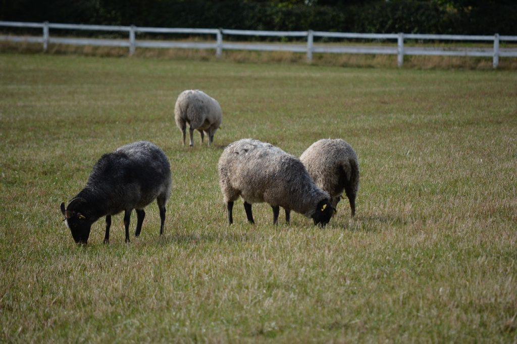 La Polizia sta investigando su una mattanza di pecore e galline
