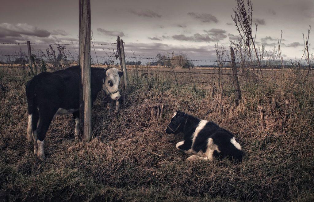 Trovata una vacca morta