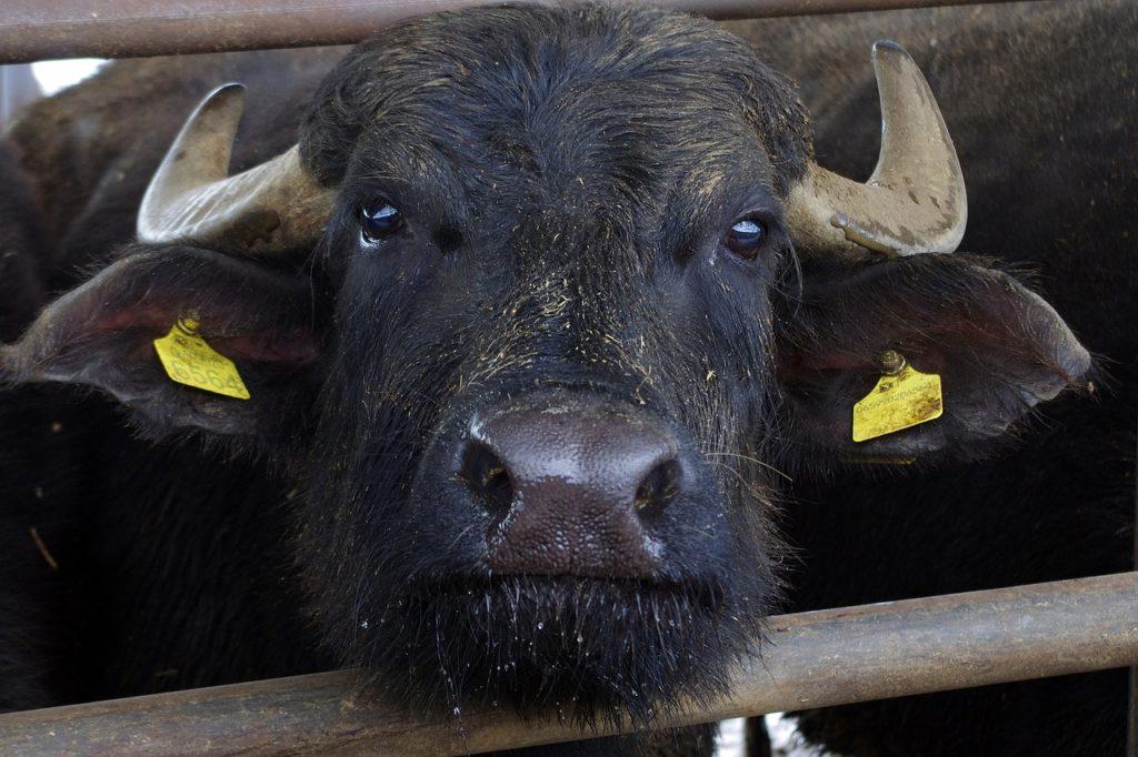 Ventitrè bufali si gettano in uno strapiombo
