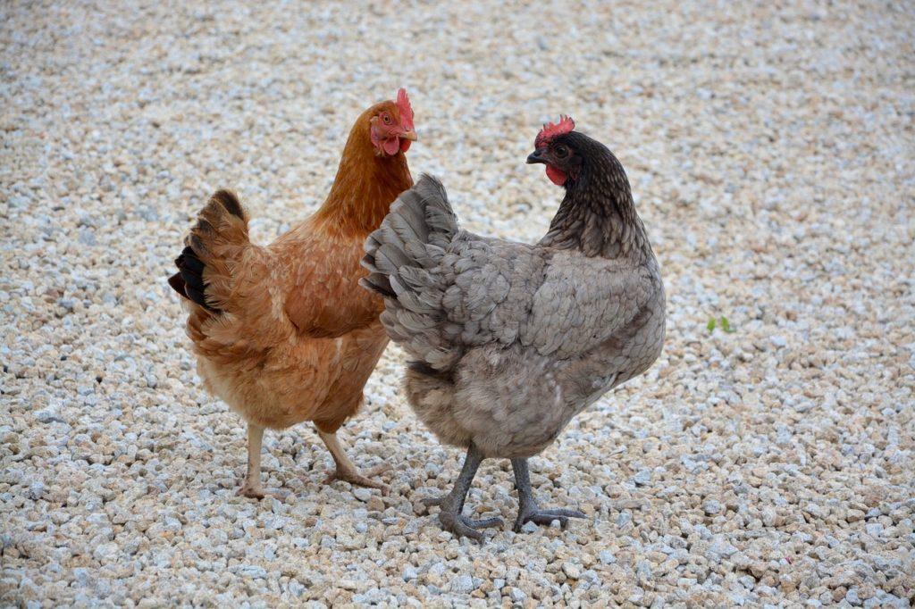 Comales uccide venti galline ed una capra