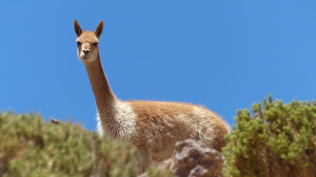 Chupacabra uccide 50 lama in Bolivia