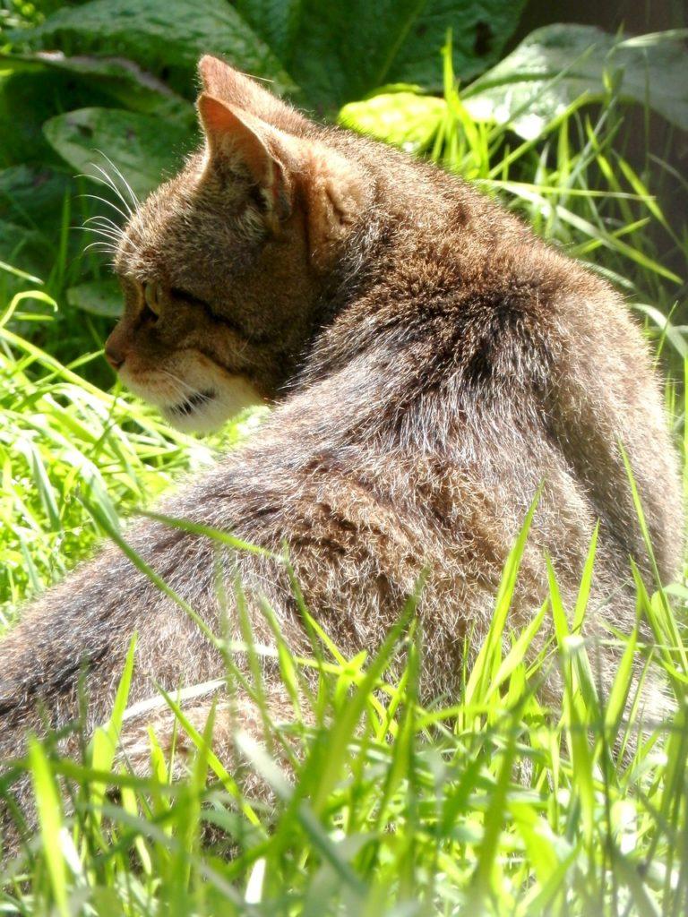Questa immagine ha l'attributo alt vuoto; il nome del file è scottish-wildcat-768x1024.jpg