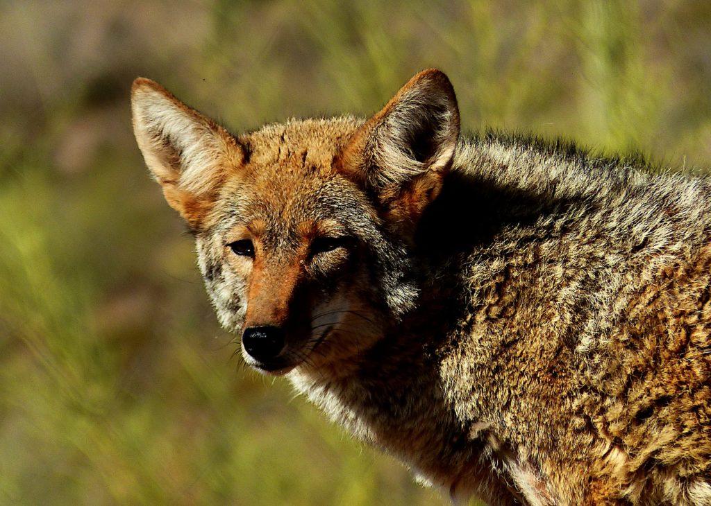 Foto di un coyote